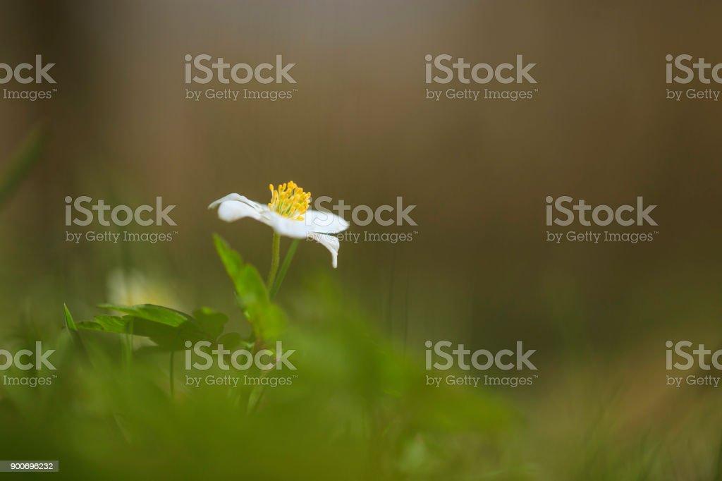 Windflower wood anemone in Sweden stock photo
