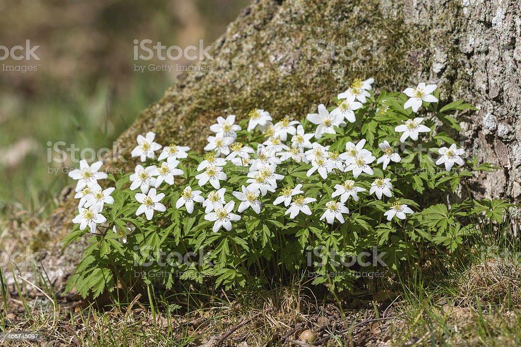 Windflowers stock photo