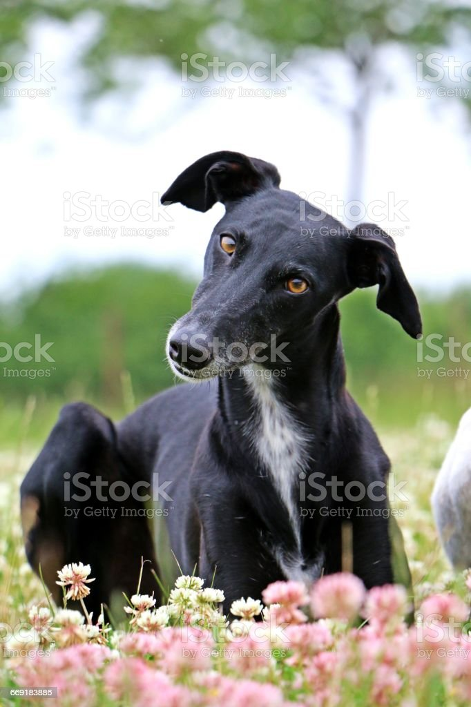 windhund im kleefeld stock photo