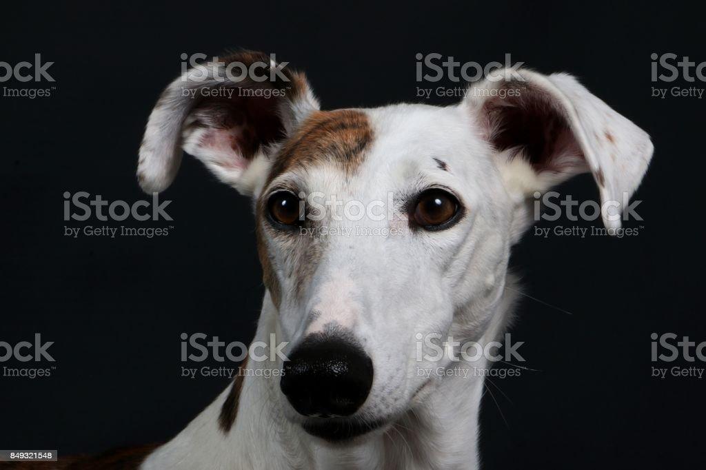 windhund portrait stock photo