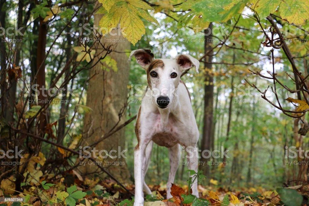 Windhundportrait im Wald stock photo