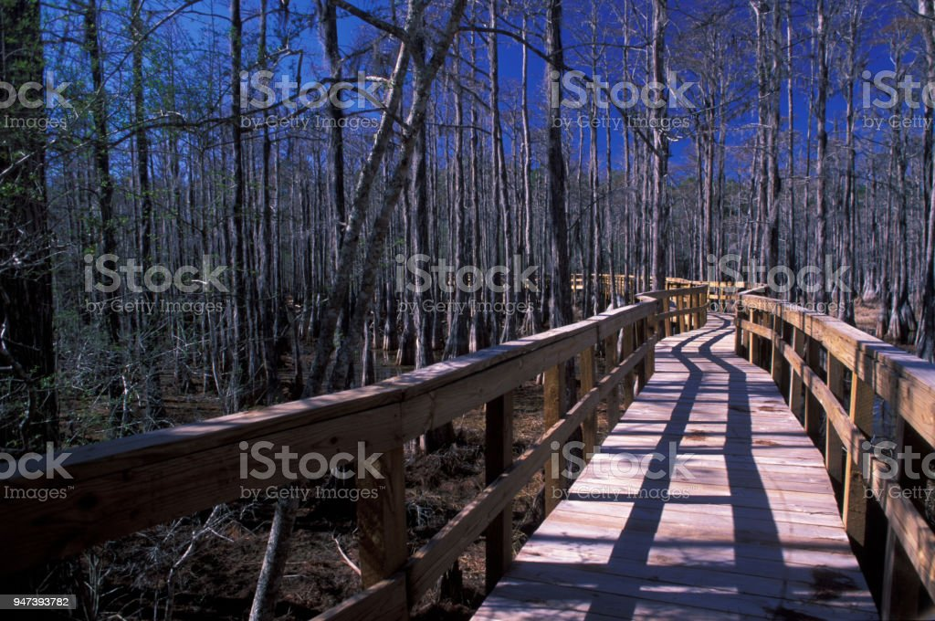 Winding boardwalk though leafless Cypress forest in winter stock photo