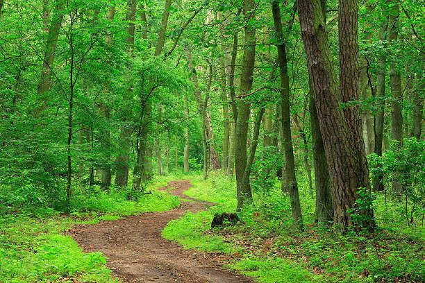 gewundenen weg durch den mischwald der laubwälder und coniferious bäumen - nationalpark müritz stock-fotos und bilder