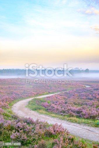 Winding path through blooming Heather plants in Heathland landscape during sunrise in summer in the Veluwe nature reserve in Gelderland, The Netherlands.