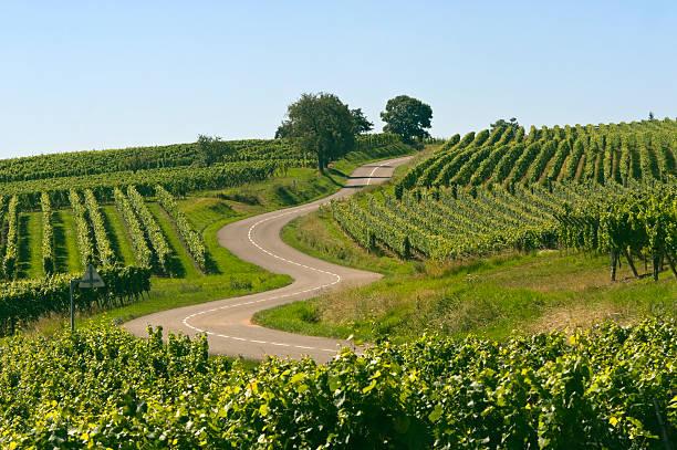 Estrada Sinuosa em vinhedos da Alsácia (França - foto de acervo
