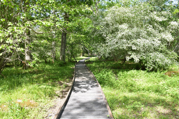 Winding wooden footpath in a nature reserve stock photo