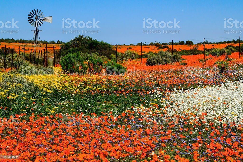 Windmill and spring flowers multicolored spring flowers landscape with metal windmill Africa Stock Photo