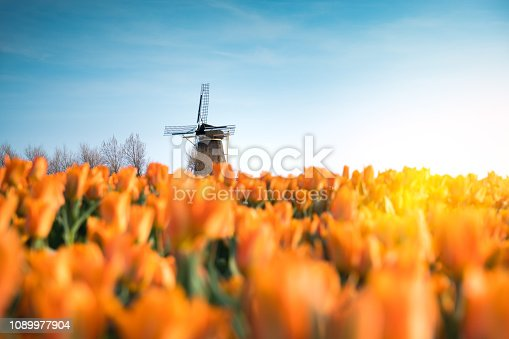 Traditional dutch windmill in the middle of tulip field.
