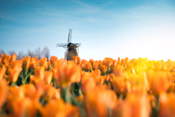 windmolen in tulp veld - netherlands stockfoto's en -beelden