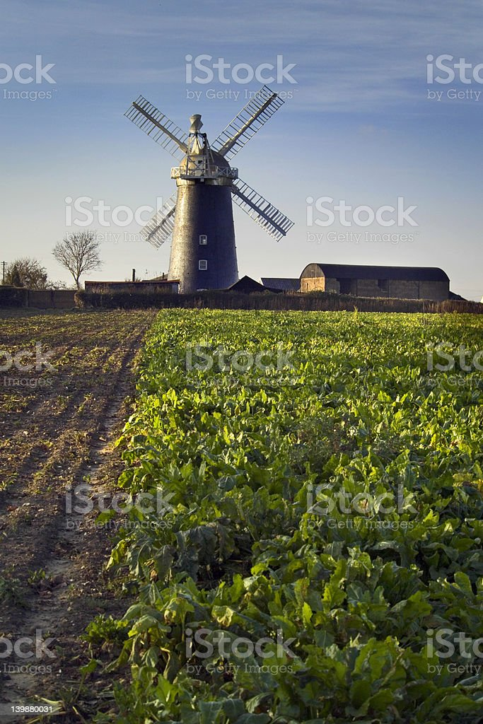 Windmill, Suffolk, England, crops in  foreground stock photo