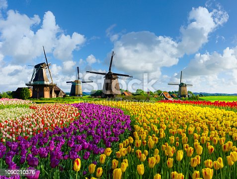 Colorful tulip fields in front of Dutch windmills under a nicely clouded sky