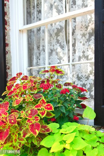 Coleus is planted in a window planter in Charleston, South Carolina in front of a window with lacy curtains.
