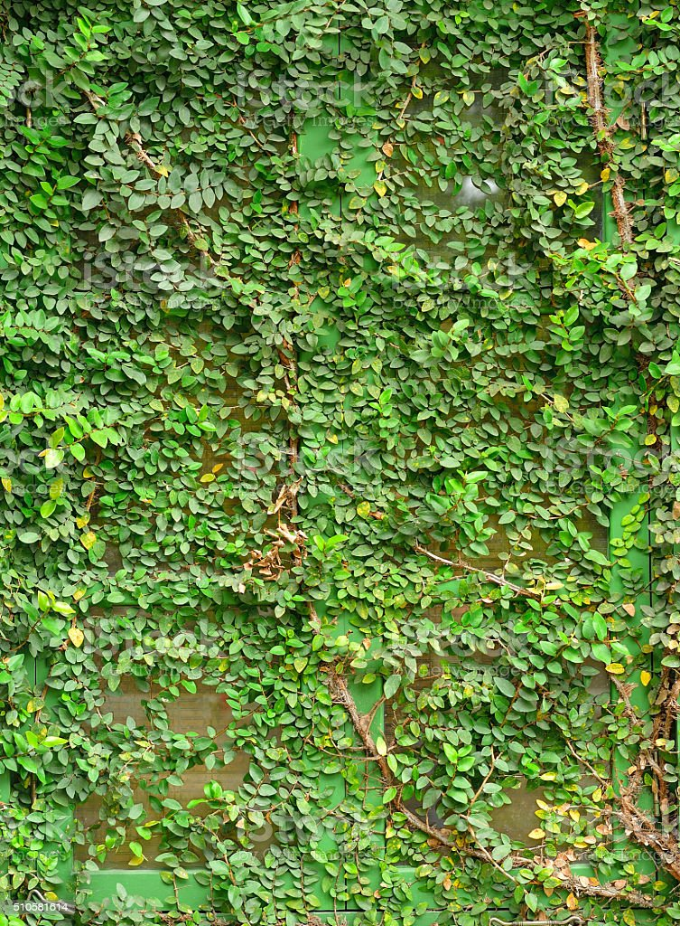 window of a house covered with ivy stock photo