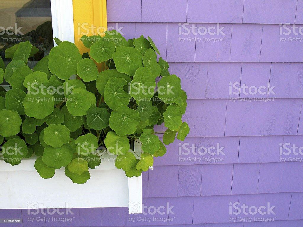 Windowbox on purple wall royalty-free stock photo