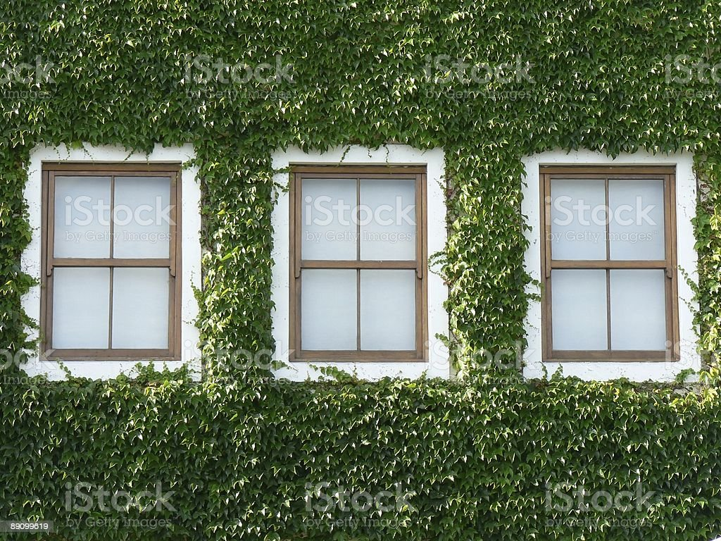 Windows and Ivy 01 stock photo