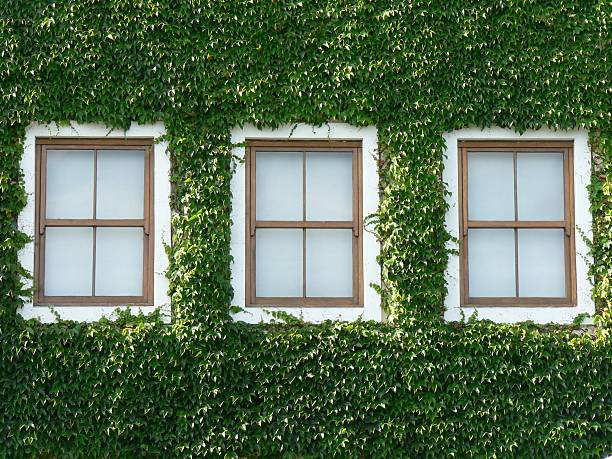 Windows and Ivy 01 stock photo