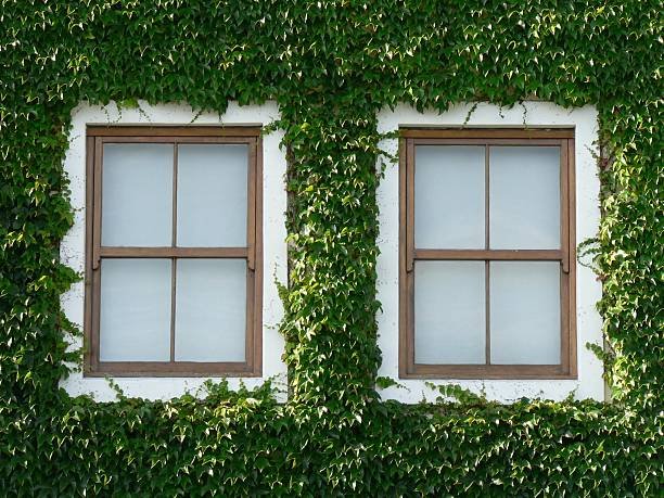 Windows and Ivy 02 stock photo