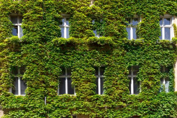 windows in a green wall - ivy building imagens e fotografias de stock