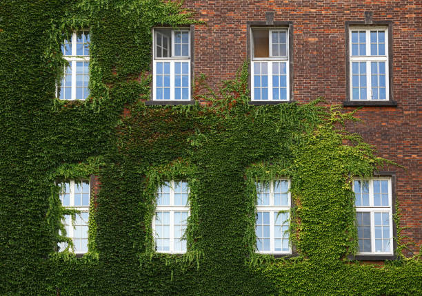 windows of old house on wall mantled with ivy - ivy building imagens e fotografias de stock