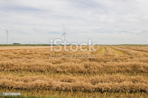 A windrowed field of ripe spring wheat.