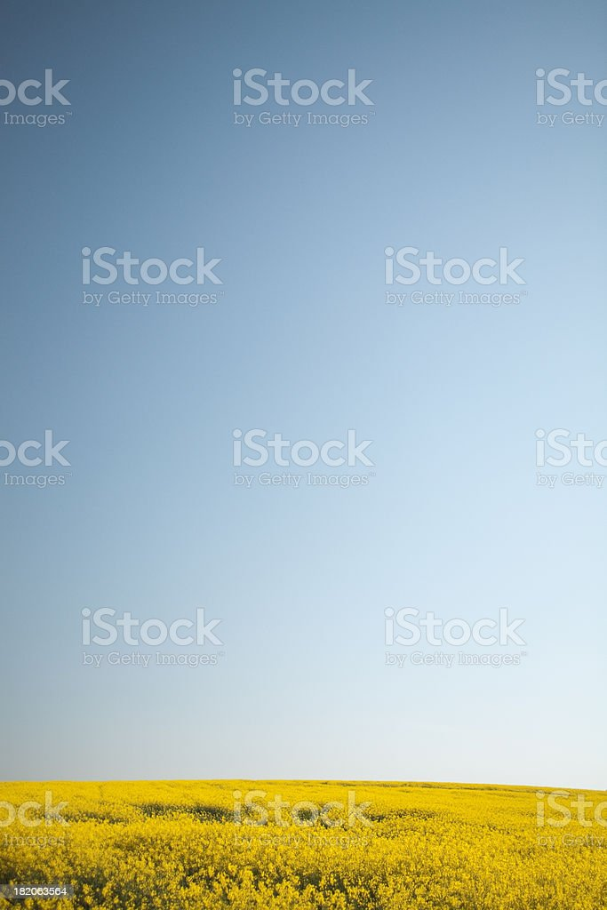 windswept canola copyspace royalty-free stock photo