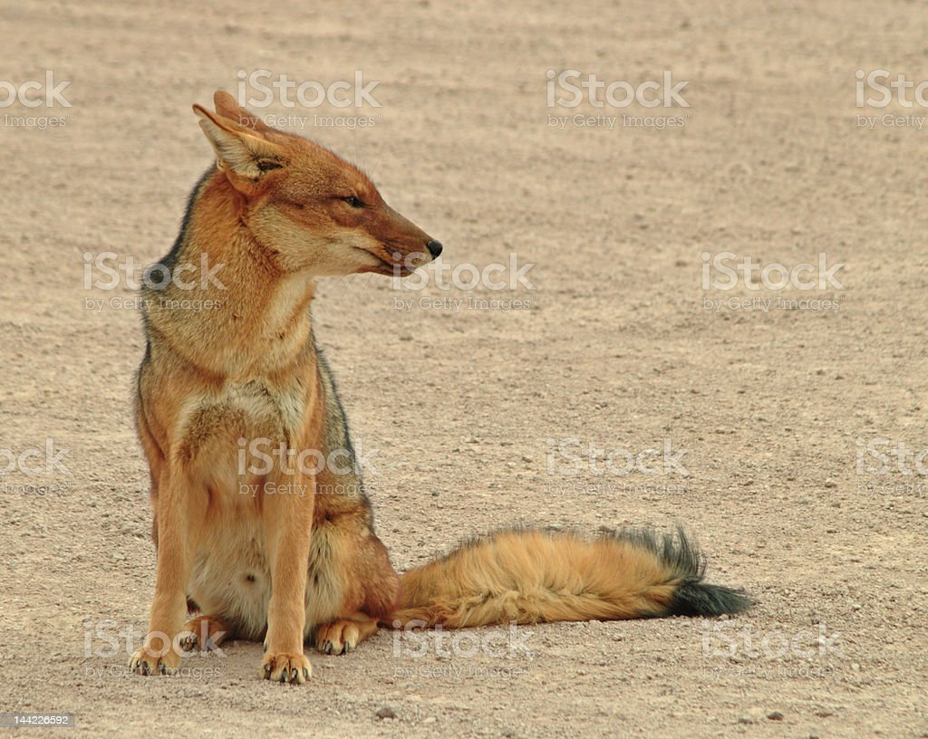 Windswept fox royalty-free stock photo