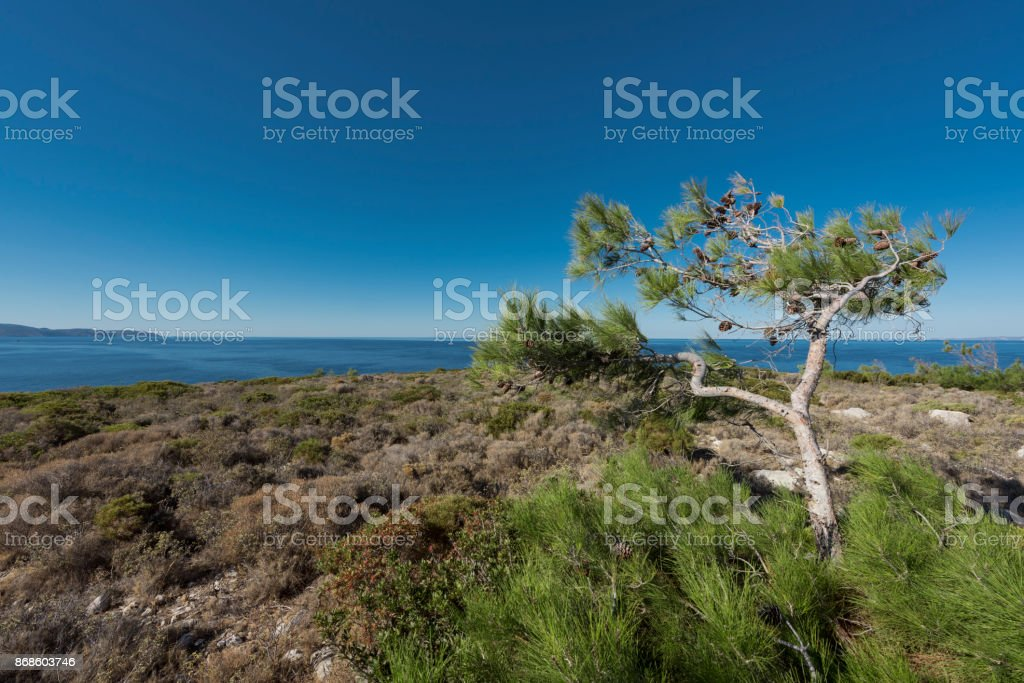 Windswept pine tree on the windy Island of Chios stock photo