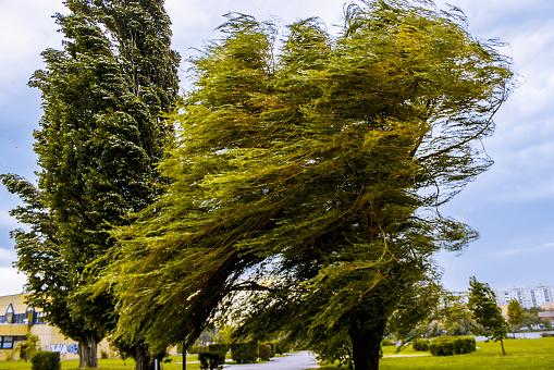 Windswept tree in Hungary