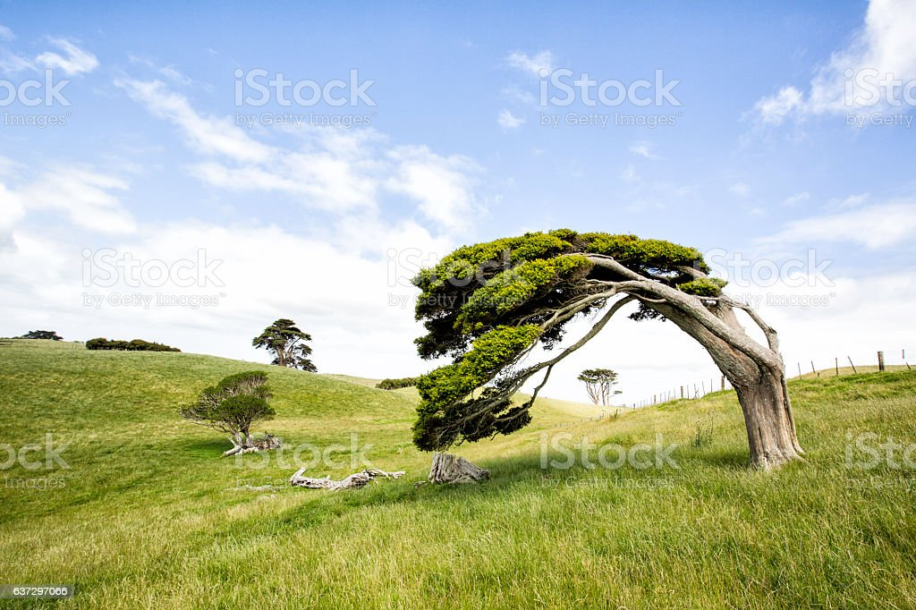 Windswept Tree stock photo