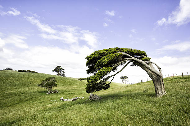 Windswept Tree Characterful windswept tree in classic New Zealand landscape  bending stock pictures, royalty-free photos & images