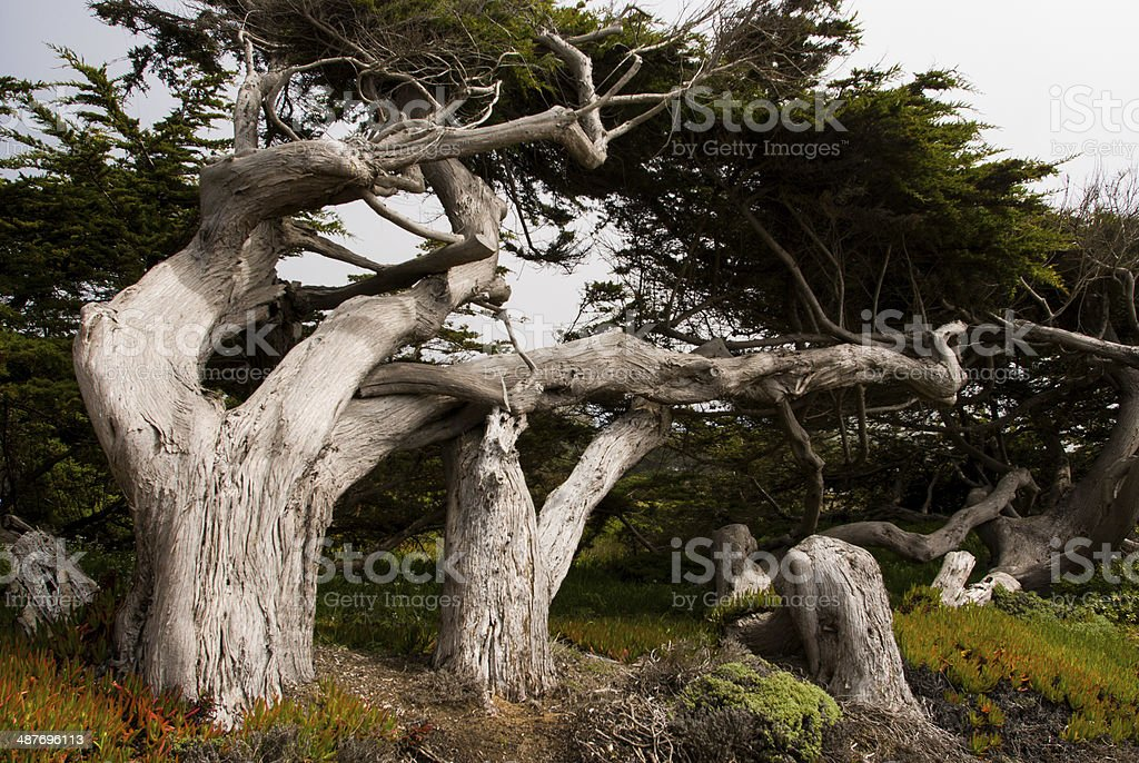 Wind-swept Trees in Sonoma County on the Coast California stock photo