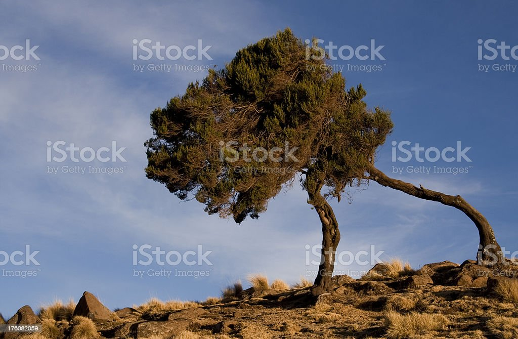 Windswept trees on a rocky outcrop stock photo