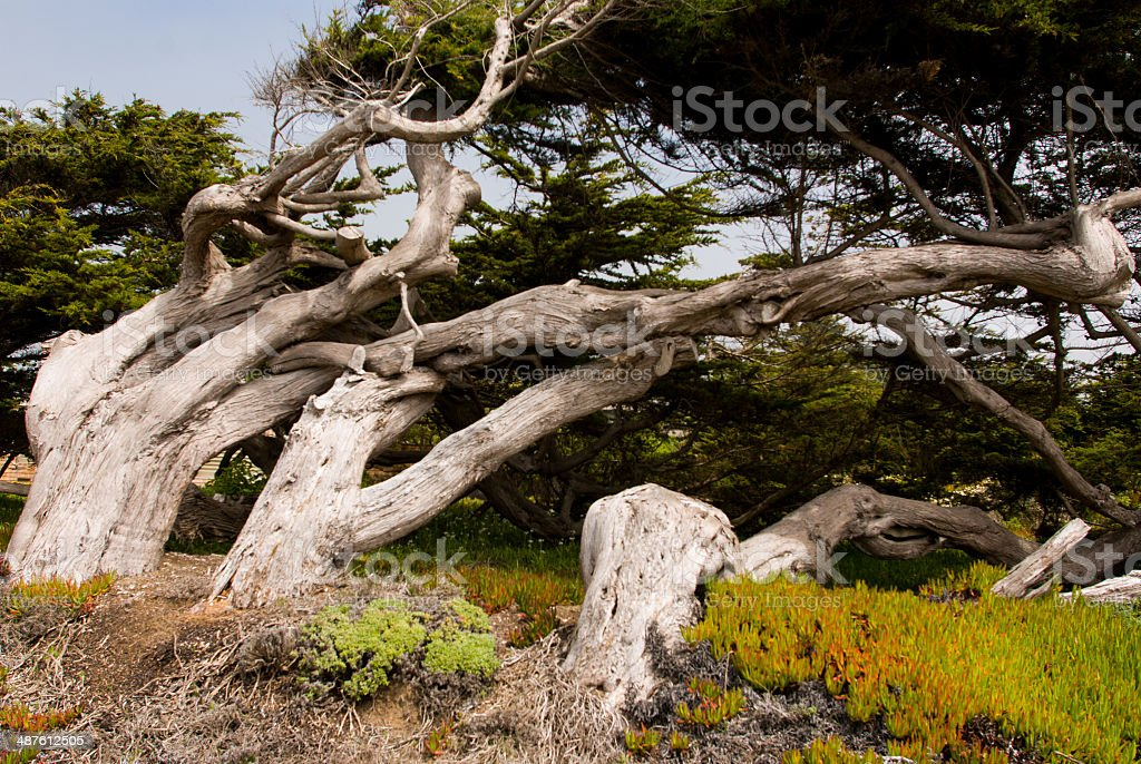 Wind-swept Trees Sonoma County Coast California stock photo