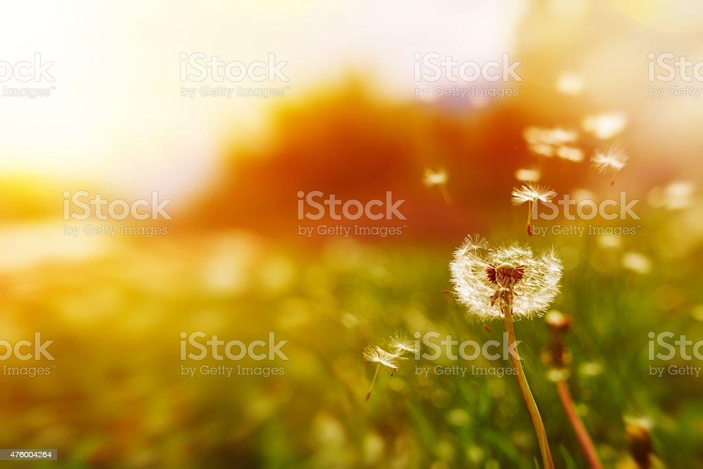 windy dandelion in spring time stock photo