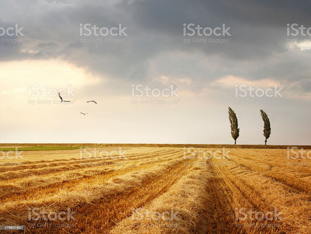Windy landscape with poplar trees stock photo