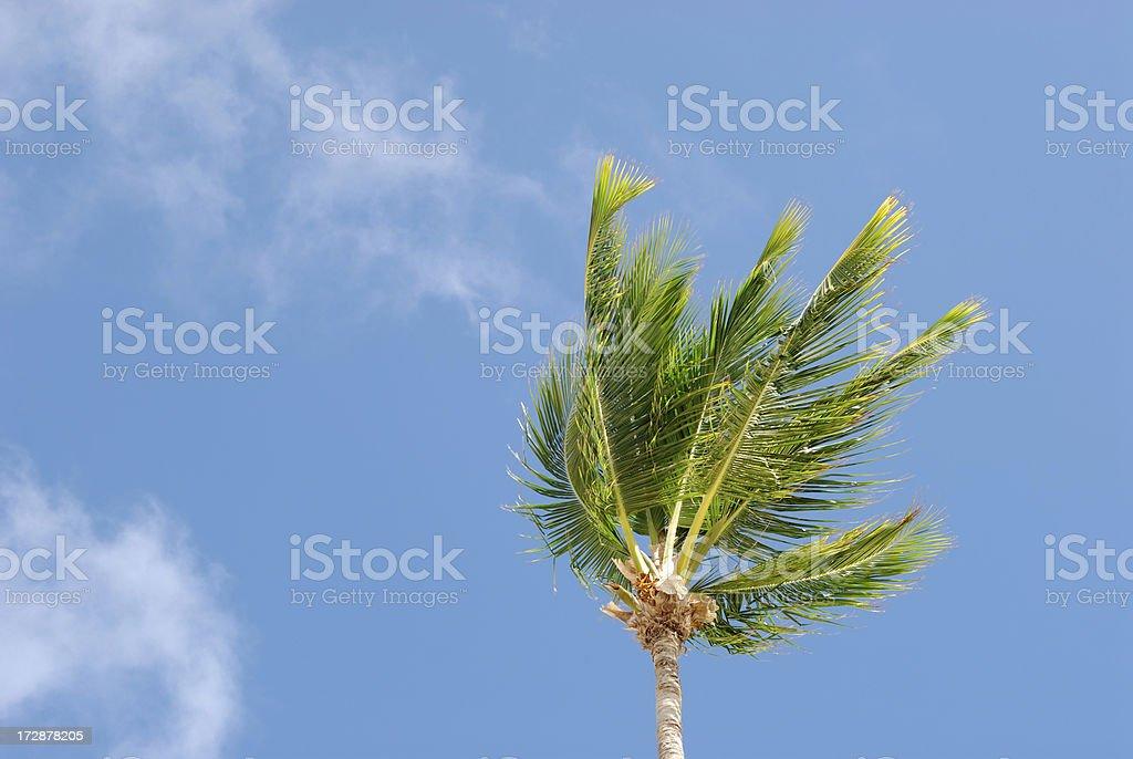 Windy Palm Tree stock photo