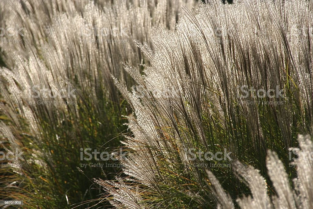 Windy Reed royalty-free stock photo