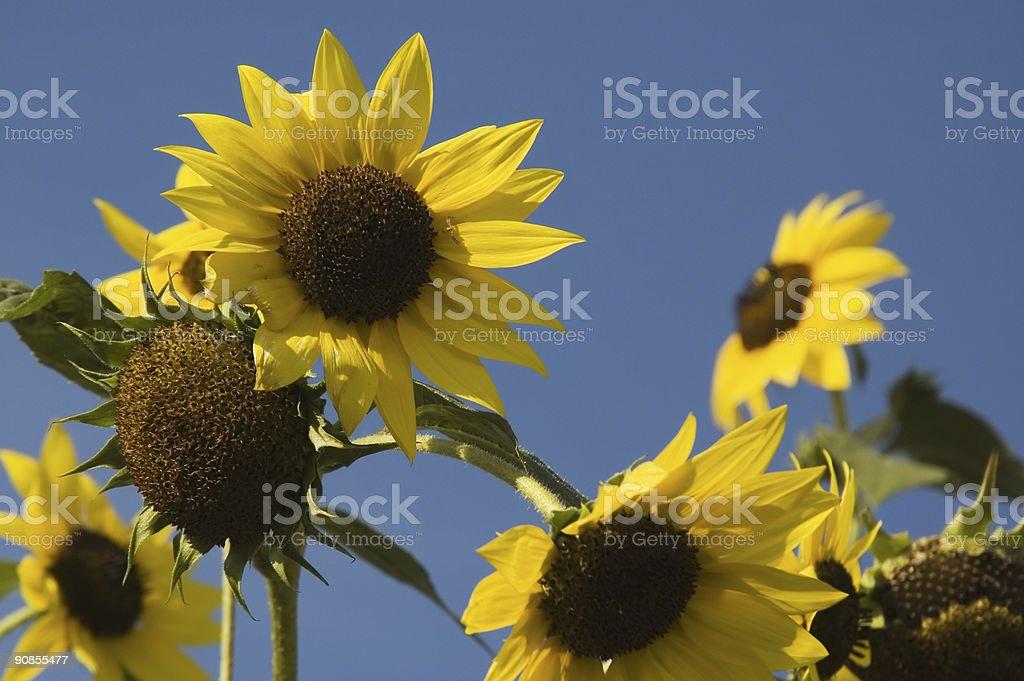 Windy sunflowers stock photo
