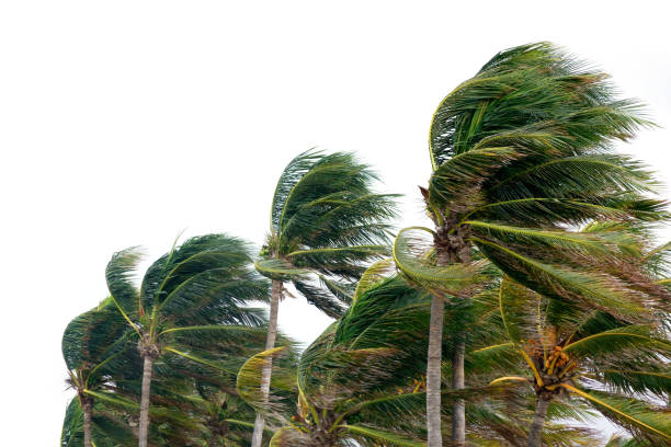 windy tropical storm close up palm tree leaves waving in windy tropical storm over cloudy sky wind stock pictures, royalty-free photos & images