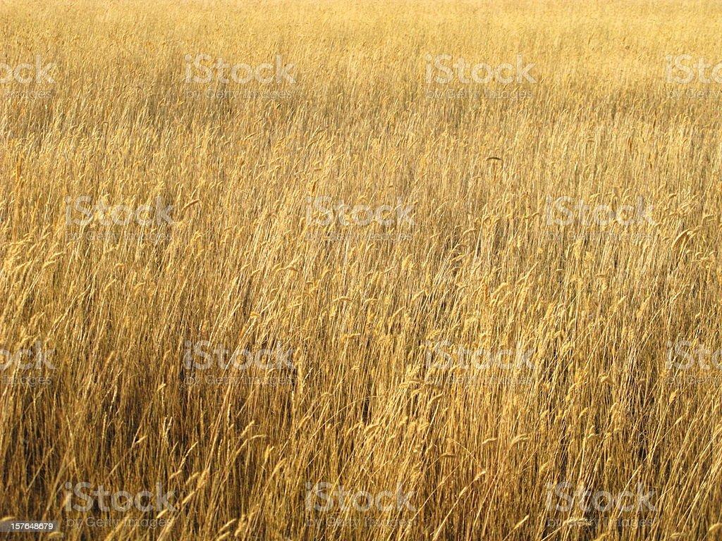 Windy Wheat Field stock photo