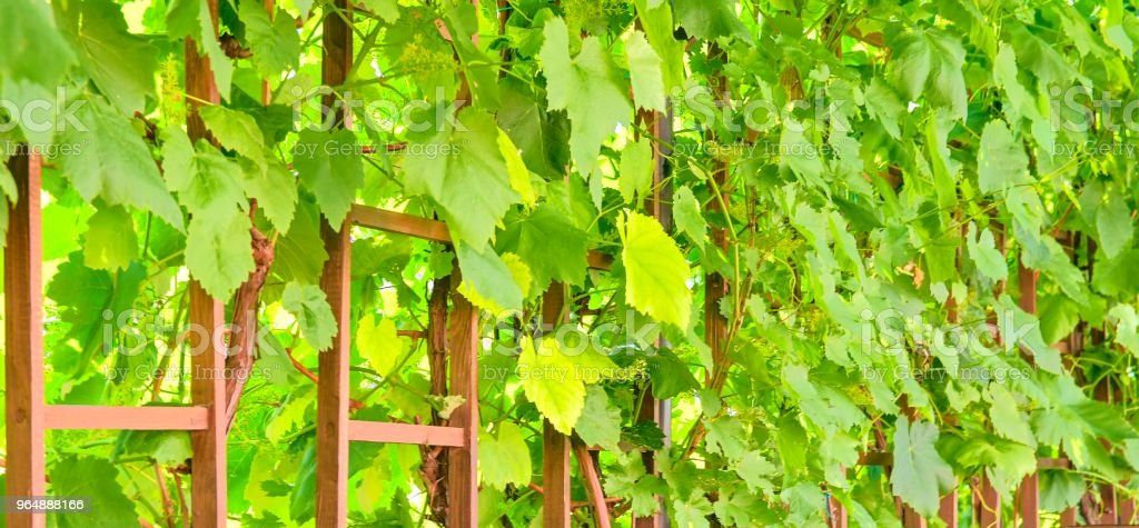 Wine background in Europe. Czech Republic, South Moravia. royalty-free stock photo