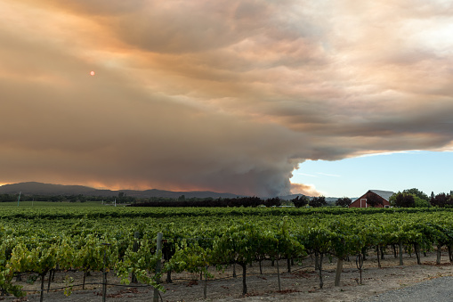 Wide view of smoke emanating from the Walbridge Fire behind one of many vineyards in the area. Santa Rosa, California, USA