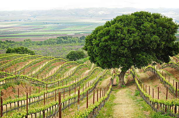 Wine Country View with a tree stock photo