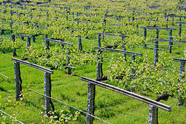 Wine Culture stock photo