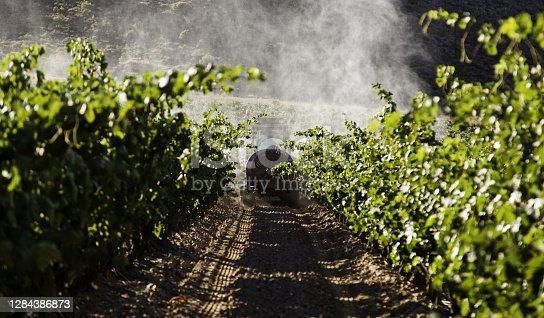 Field of vineyards to make wine, detail of ecological cultivation, wine and grape