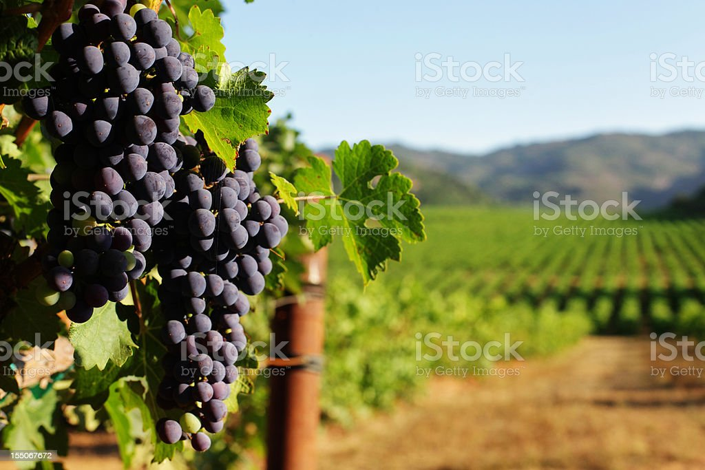 Wine Grape bunches overlooking vineyard in sunny valley stock photo