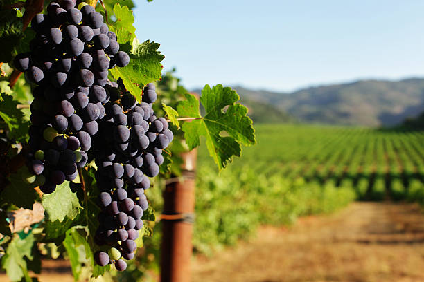 Wine Grape bunches overlooking vineyard in sunny valley  sonoma stock pictures, royalty-free photos & images
