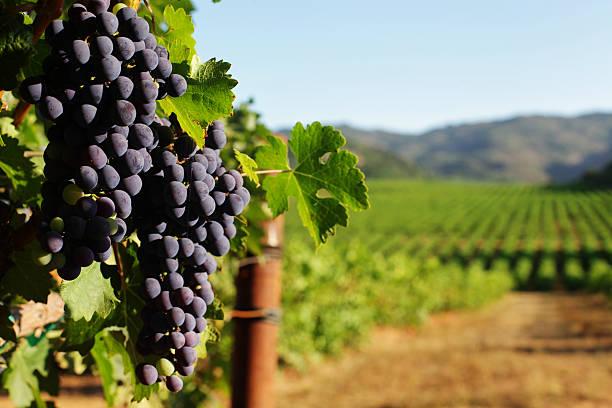 wine grape bunches overlooking vineyard in sunny valley - vineyard bildbanksfoton och bilder