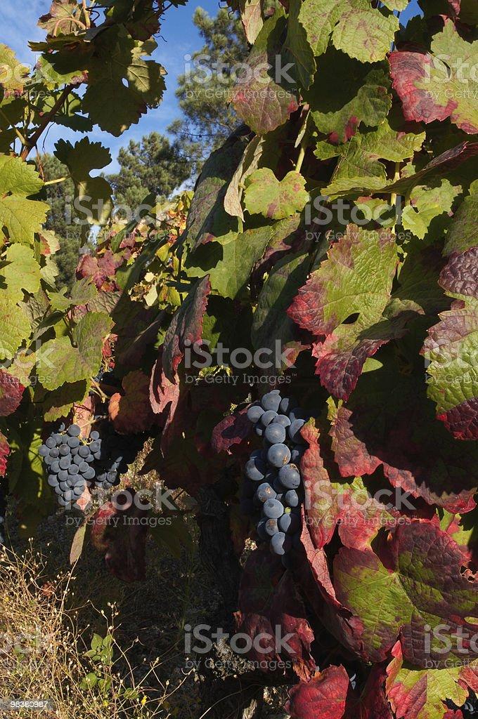 Wine grape closeup royalty-free stock photo
