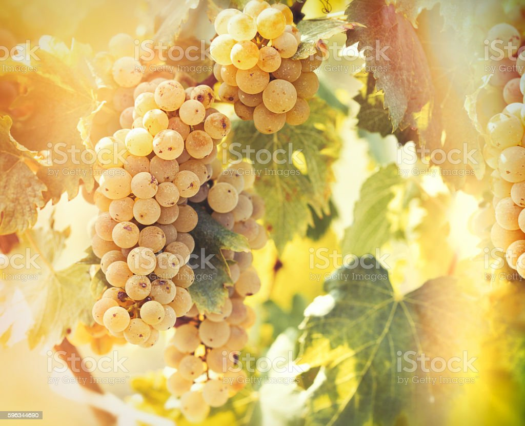 Wine grape - golden grape Riesling royalty-free stock photo